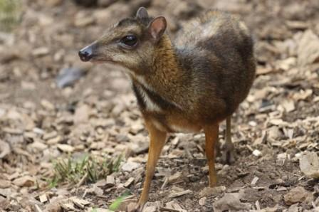 Mouse-deer-537x357