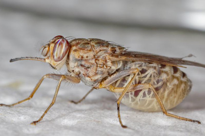 Муха цеце Glossina palpalis