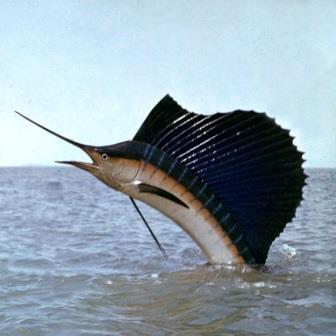 ryba-parusnik02