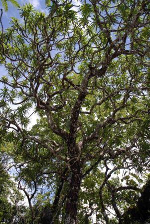 Драконово дерево Кавесака