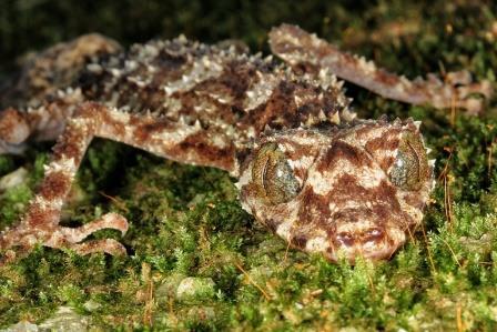 Листохвостый геккон