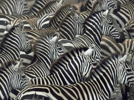 Зафиксирована самая масштабная миграция африканских млекопитающих