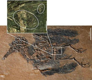 В Германии обнаружена древнейшая птица-опылитель