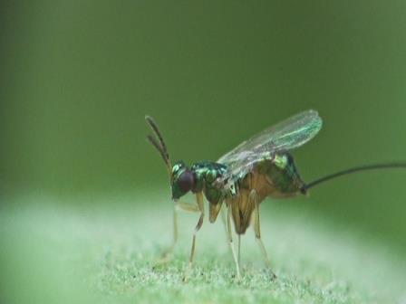 Паразитические осы прокалывают фрукты цинковым сверлом