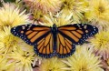 Североамериканская бабочка-монарх.