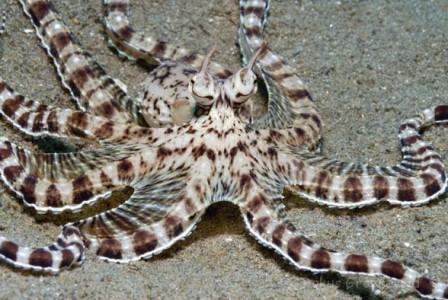Thaumoctopus mimicus
