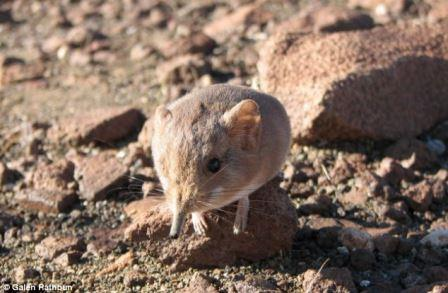 Macroscelides micus