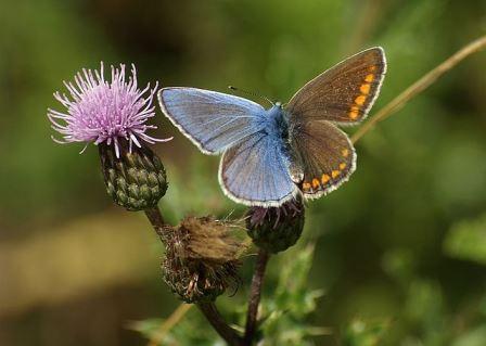 Бабочка голубянка икар (Polyommatus icarus). Гинандроморф.