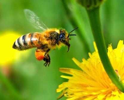 «Ментальная карта» помогает пчелам искать дорогу