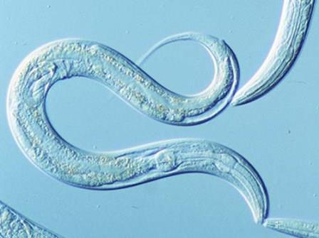 C. elegans под электронным микроскопом
