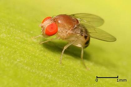 У мух обнаружили «ген человеческого языка»