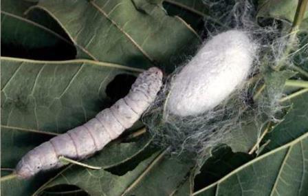 Гусеница и куколка тутового шелкопряда