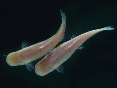 Phreatichthys andruzzii