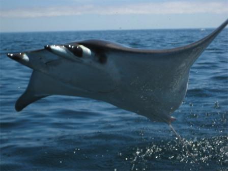 Мобула – это семейство крупных летающих скатов
