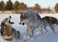 Собаки и волки контактируют при помощи глаз
