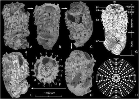 Морфология Eopriapulites sphinx