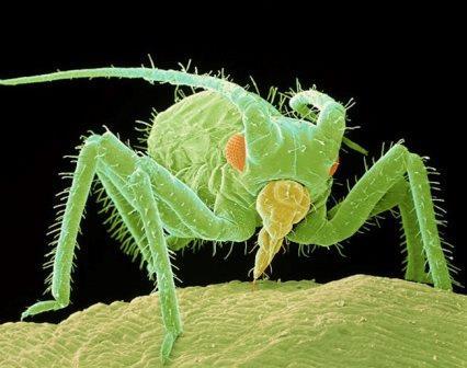 Тля под микроскопом