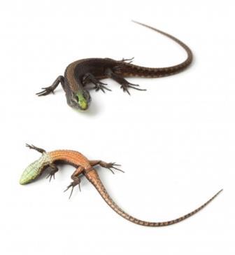 В Эквадоре нашли новый вид теневых ящериц