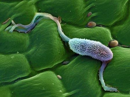 Phytophthora infestans под сканирующим электронным микроскопом