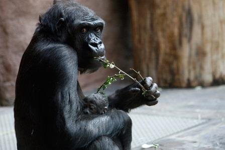Равнинные гориллы