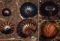 Многоножки Sphaeromimus