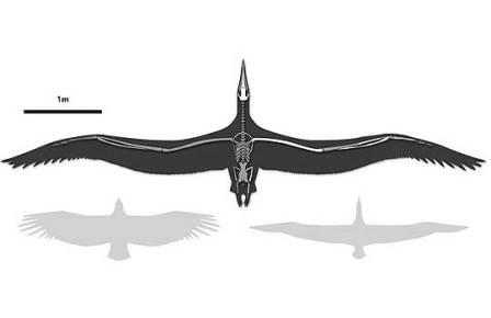 Силуэт Pelagornis sandersi в сравнении с современными калифорнийским кондором