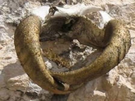 Позолоченые рога