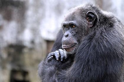 Шимпанзе сильнее человека, но человек выносливее
