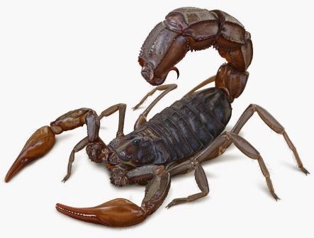 Самый крупный в истории скорпион был слабым