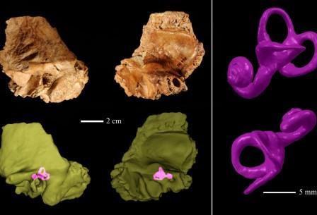 На иллюстрация видна структура внутреннего уха черепа древнего человека