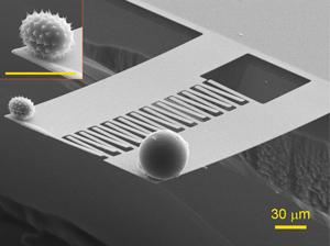 Зернышко пыльцы, которое взвешивают вместе с крупинкой-стандартом