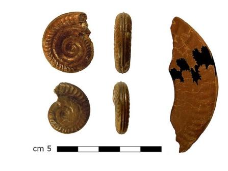 Аммонит, названный в честь святой Хильды (Hildoceras sp.)