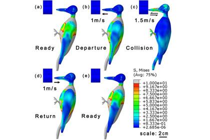 Физики объяснили ударопрочность головы дятлов
