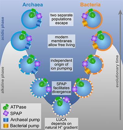 Разделение живых существа на бактерии и археи