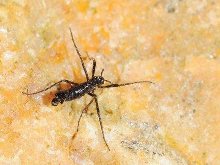 Комар вида Belgica antarctica (самец)