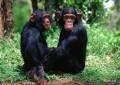 Шимпанзе следят за модой