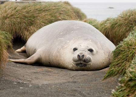 Тюлени занесли туберкулез в Америку задолго до европейцев