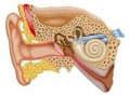 Человеческое ухо в разрезе