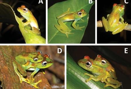 Лягушки Boophis ankarafensis