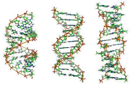Двойная спираль ДНК в живых организмах существует в разных формах.