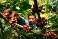 геном кофе