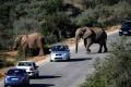 Дикие слоны в Порт-Элизабет, ЮАР