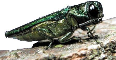 Изумрудный ясеневый жук-пилильщик Podosesia fraxini