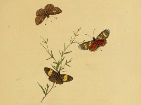 Иллюстрация из атласа насекомых Индии, 1800 г.