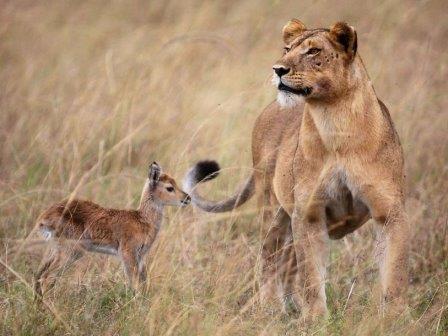 Львица, усыновившая детенышей антилопы