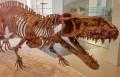 Скелет представителя Rauisuchidae