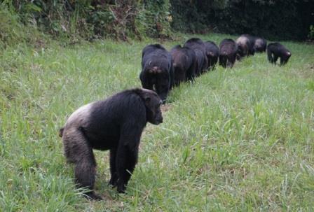 Самцы шимпанзе патрулируют приграничные территории