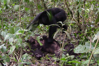 Шимпанзе попирает труп поверженного сородича