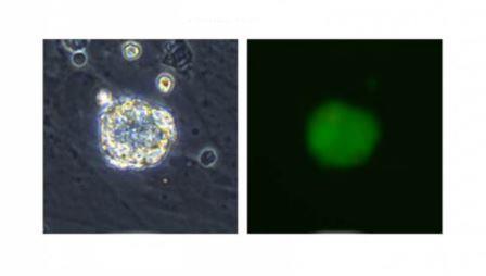 исходные стволовые клетки
