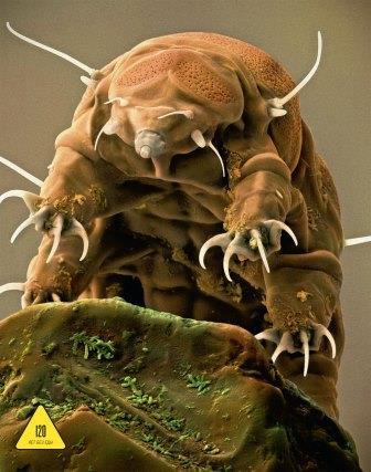 Так выглядит водяной медведь под микроскопом